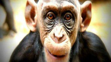 macaco-rei