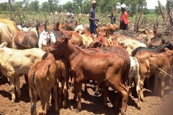 gado-angola