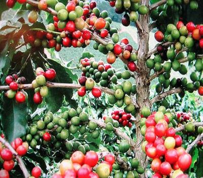 O café foi um dos mais emblemáticos produtos de exportação de Angola.